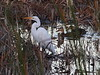 Great Egret with Mottled Ducks 02-20180107 (Kenneth Cole Schneider) Tags: florida miramar westmiramarwca
