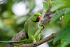 My Breakfast (melvhsc100) Tags: birds ringneckparrot greenery park wildlife colourful singaporenicescenery marinasataybythebay gardenbythebay bokeh nikond7200 tamron150600mmlens feathers trees