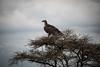 Tanzania 2017 (Marianne Zumbrunn) Tags: tanzania 2017 nikon d610 nikond610 serengeti safari animal wild geier vulture nikon70200mmf4 70200mm