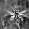 Botanisch Schwarzweiß (Silaris Inc.) Tags: freigestellt bokeh pflanze blühen blüte nahaufnahme schwarzweis depthoffield natur dof bochum nordrheinwestfalen deutschland de