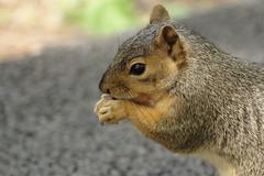 Squirrel, Morton Arboretum. 412 (EOS) (Mega-Magpie) Tags: canon eos 60d nature wildlife squirrel the morton arboretum lisle dupage il illinois usa america eat food hungry cute outdoors
