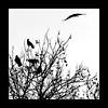 Ombre (cyberseb57) Tags: corbeau silhouete
