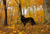 autumn colors (kahora777) Tags: dogphotography dog autumncolors autumn tees forest
