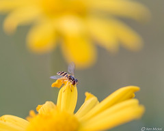 Hover Fly (Ken Mickel) Tags: colors floral flower flowers flowersplants insects kenmickelphotography plants sweatbee wildlife yellow capedaisy closeup daisy garden gardens nature upclose hoverfly