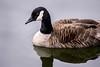 Canadian Goose at Rio 3-0 F LR 6-8-17 J020 (sunspotimages) Tags: canadagoose canadian goose bird birds geese nature wildlife