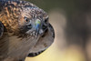 Red-tailed Hawk (Jon David Nelson) Tags: redtailedhawk buteo buteojamaicensis raptors birdsofprey wildlife centraloregon bendoregon highdesert conservation education