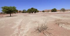 Namibia's Beauty:  Trees in the Namib desert, Sossusvlei (ronmcbride66) Tags: namibia namibiasbeauty sossusvlei saltpan trees aquifer undergroundwater dunes dunesystem desert namibdesert desertlandscape