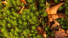 Woodland Walk (Keith Gooderham) Tags: kg171226595aweb1 woods moss beech fagussylvatica fagus polyytrichum winter copyrightgreenshootsphotography uk scotland horizontal