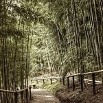 Peaceful stroll through the bamboo forest thumbnail