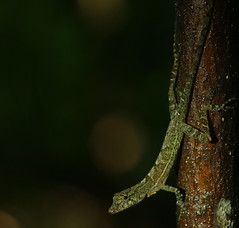 Many-scaled anole (Norops polylepis) (phl_with_a_camera1) Tags: puerto jimenez costa rica nature animal wilderness wildlife jungle herping herp manyscaled anole norops polylepis many scaled lizard closeup detail macro