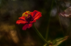 Beauty in Red (Klaus Ficker --Landscape and Nature Photographer--) Tags: flower red beauty beautiful nature zinnia blume dreamy photoshop kentuckyphotography klausficker canon eos5dmarkii