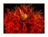 Red Rules... (fenman_1950) Tags: redrules smileonsaturday poppy flower red