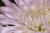 2018 day 1 (Kellie M. Simpson) Tags: macro flower chrysanthemum tamron90mm28 canon6d canon tamron 2018 white soft