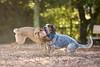 DSC07850 (Sebastopol Dog Park) Tags: 12102017 sebastopoldogpark samyang135mmf2 manualfocus catch chase ball fetch football arlendean dog dof openaperture f2 a7s