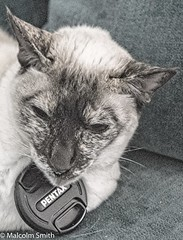 Pencatx (M C Smith) Tags: siamese camilla pentax k3 lenscap sofa monochrome