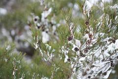 pine cone (peaceful-jp-scenery (busy)) Tags: urabandai kitashiobaramura hibara highland fukushima pine snowshoe 松 スノーシュー 北塩原村 桧原湖 裏磐梯 福島 日本 sony α99ⅱ a99m2 ilca99m2 amount sal85f14z planart*85mmf14za carlzeiss
