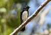 Willie Wagtail --- Rhipidura leucophrys (creaturesnapper) Tags: birds brisbane australia williewagtail rhipidura leucophrys