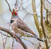 Northern Pose. (Omygodtom) Tags: wild wildlife bird northernflickerwoodpecker natural nikkor setting scene scenic outside outdoors red fun dof d7100 bokeh nikon70300mmvrlens oaksbottom ngc usds