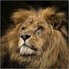 Portrait of a beauty  (Explored) (hisdream) Tags: lion male captive whf portrait beast kingofbeasts