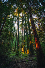 Sunset (Viv Lynch) Tags: canada britishcolumbia vancouver vancity westcoast pacificspiritregionalpark forest park trees outdoor hiking bc pacific nature