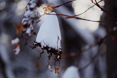 maruyama 468 (kaifudo) Tags: sapporo hokkaido japan maruyamapark winterscene 札幌 北海道 円山 円山公園 ガクアジサイ hydrangeanacrophylla nikon d810 sigmaapomacro105mmf28 sigma 105mm