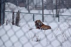 08122017-DSCF7769-2 (Ringela) Tags: sibirisk tiger orsa rovdjurspark december 2017 sweden panthera tigris altaica siberian tigre de sibérie animals fujifilm xt1 zoo