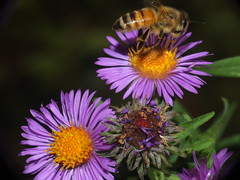 Honey Bee Flying Off Of An Aster Flower DSCF5455 (Ted_Roger_Karson) Tags: honeybee honeybeeflying aster asterflowers supermacro fujifilm xs1 honey bee flying hand held camera raynox dcr150 northern illinois flowers bumble thistle flower thisisexcellent super macro lens flowerhead yard friends twop bug hd fuji eyes m150 macroscopic pollen animal outdoor insect pollinator plant depth field backyard animals garden