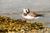 Chorlitejo grande (Charadrius hiaticula) Píllara real. (Felipe Ogando) Tags: chorlitejogrande charadriushiaticula píllarareal felipeogando morfeofilms aves avesdegalicia naturaleza