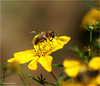 Fly (Hindrik S) Tags: fly hoverfly sweefmich zweefvlieg flower bloem yellow giel geel plant fleur blom macro tamron 90mm tamronspaf90mmf28dimacro sonyphotographing sony sonyalpha a57 α57 slta57 skepping schepping schöpfung creation nature natuur