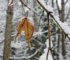 Falling into winter... (France-♥) Tags: 24 feuille leaf winter snow neige froidure cold bc vancouver canada goutte drop bokeh macro