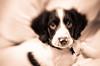Sweet (Alex . Wendes) Tags: lensbaby lensbabycomposor lensebaby lensebabycomposor sweet50 puppy dog toneddigitalbw tonedbw distortion bokeh flickrgolfclub