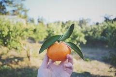 Citrus of Jeju (DChoi95) Tags: agriculture rustic d3300 food tree citrus nikon jeju korea winter fruit