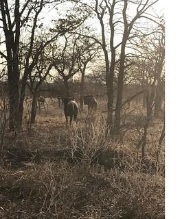 Zimbabwe Cape Buffalo Hunt 6