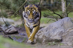 Tigre (Christian Matti) Tags: tigre tiger