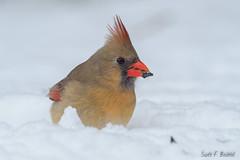 Female Northern Cardinal (bechtelsf) Tags: olympus em1markii zuikon300mm ohio rieckcenterforhabitatstudies birds wildlife animals nature bird universityoffindlayrieckcenterforhabitatstudies