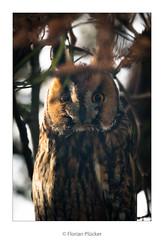 Portrait (florianpluecker) Tags: waldohreule long eared owl bird vogel raubvogel eule germany deutschland backyard garten tree baum schlafplatz birding wildlife nature natur sigma 150600 contemporary