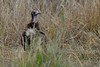 Critically Endangered Hooded Vulture (cirdantravels (Fons Buts)) Tags: necrosyrtesmonachus kapgier vulture vautour charognard geier kappengeier accipitridae accipitriformes criticallyendangered kafue kaingusafarilodge