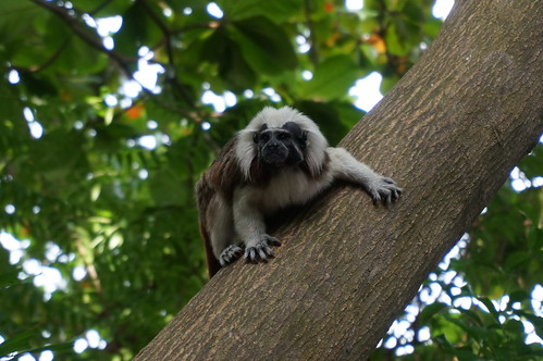 """Spider Monkey • <a style=""""font-size:0.8em;"""" href=""""http://www.flickr.com/photos/28558260@N04/27206249029/"""" target=""""_blank"""">View on Flickr</a>"""