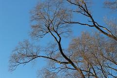 Rockford, IL, USA - Saturday, December 16, 3:30 PM (kyonoshashin) Tags: rockford illinois usa bluesky winter trees