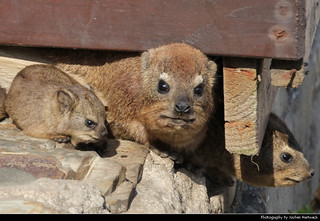 Rock hyrax family, Tsitsikamma NP, South Africa