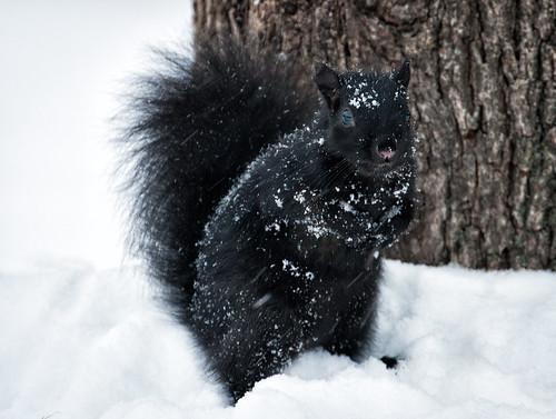 Snowy Squirrel.