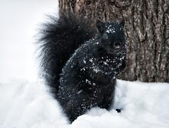 Snowy Squirrel. (PebblePicJay) Tags: toronto squirrel nature snow winter black animal canon xsi