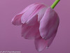 On our diningtable, Pink Dutch Tulips (A.J. Boonstra) Tags: tulip pink canon canon70d canoneos ef100mmf28lmacroisusm falconeyesskk2150d falconeyes jinbeidiffusionjumboumbrella jinbei westcottsilverumbrella westcott tulp eefde