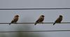 Brahminy starling (praveen.ap) Tags: brahminy starling brahminystarling myna brahminymyna ousteri osudu lake pondicherry