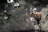 FLD_9815m (MILESI FEDERICO) Tags: milesi milesifederico montagna italia italy iamnikon inmontagna wild wildlife mammifero alpi alpicozie altavallesusa altavaldisusa animale animal stambecco ibex nikon nikond7100 nital natura nature nat piemonte piedmont visitpiedmont valsusa valdisusa valliolimpiche valledisusa sigma150500 sigma salbertrand d7100 dettagli details inverno winter 2017 dicembre corna nevicata