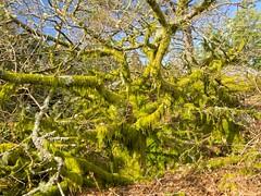Naturaleza (LUIS FELICIANO) Tags: naturaleza natura monte montaña arbol arboles musgos ramas verde dia flora exterior airelibre olympus e5 lent1122mm