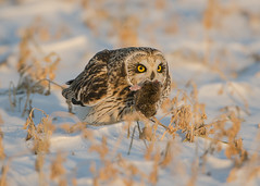 Short-eared Owl holding a vole_2 (Thomas Muir) Tags: asioflammeus tommuir hunting woodcounty bowlinggreen ohio winter migration nikon d800 600mm midwest animal raptor vole eating bird birdwatching day outdoor nature prey predator