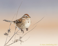 American Tree Sparrow (Matt Shellenberg) Tags: american tree sparrow americantreesparrow riverlands migratory sanctuary riverlandsmigratorybirdsanctuary