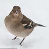 Perky portrait (kimbenson45) Tags: animal bird brown chaffinch closeup differentialfocus female nature outdoors shallowdepthoffield snow white wildlife winter wintry