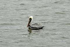 Brown Pelican floating (Jimmie Fisher) Tags: pelican brownpelican savannahgeorgia savannahriver